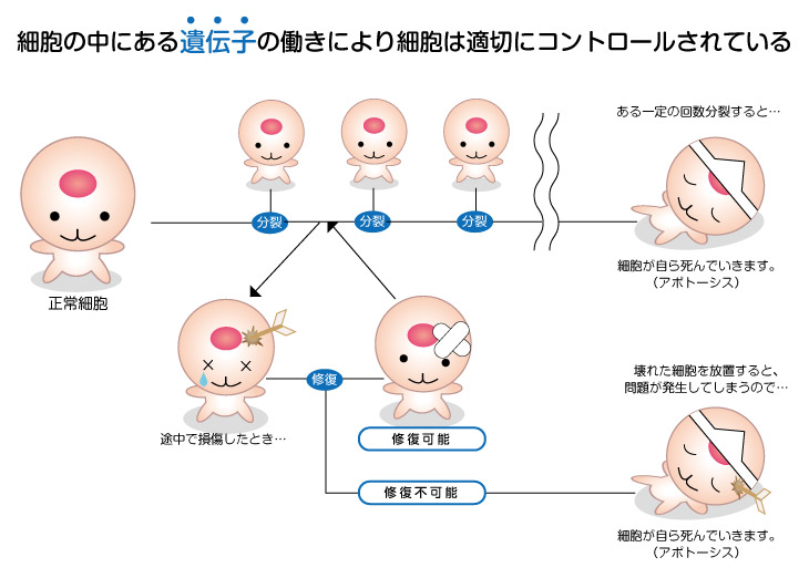 細胞は遺伝子でコントロール